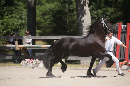 Hennnigan Friesians, Friesian horses for sale