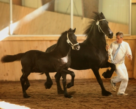 Hennigan Friesians, Friesian horses for sale